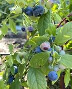 7th Jan 2021 - Blueberries