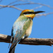 Rainbow Bee-eater beauty