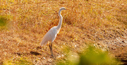 6th Jan 2021 - Egret Taking a Break From Fishing!