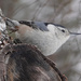 White-breasted Nuthatch by annepann