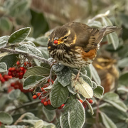 7th Jan 2021 - Redwing
