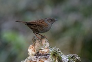 7th Jan 2021 - DUNNOCK