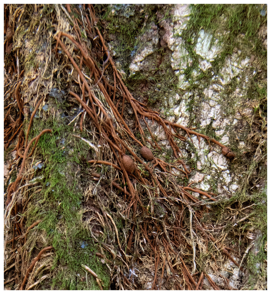 roots on a tree_3156-sm by kathywolfe01