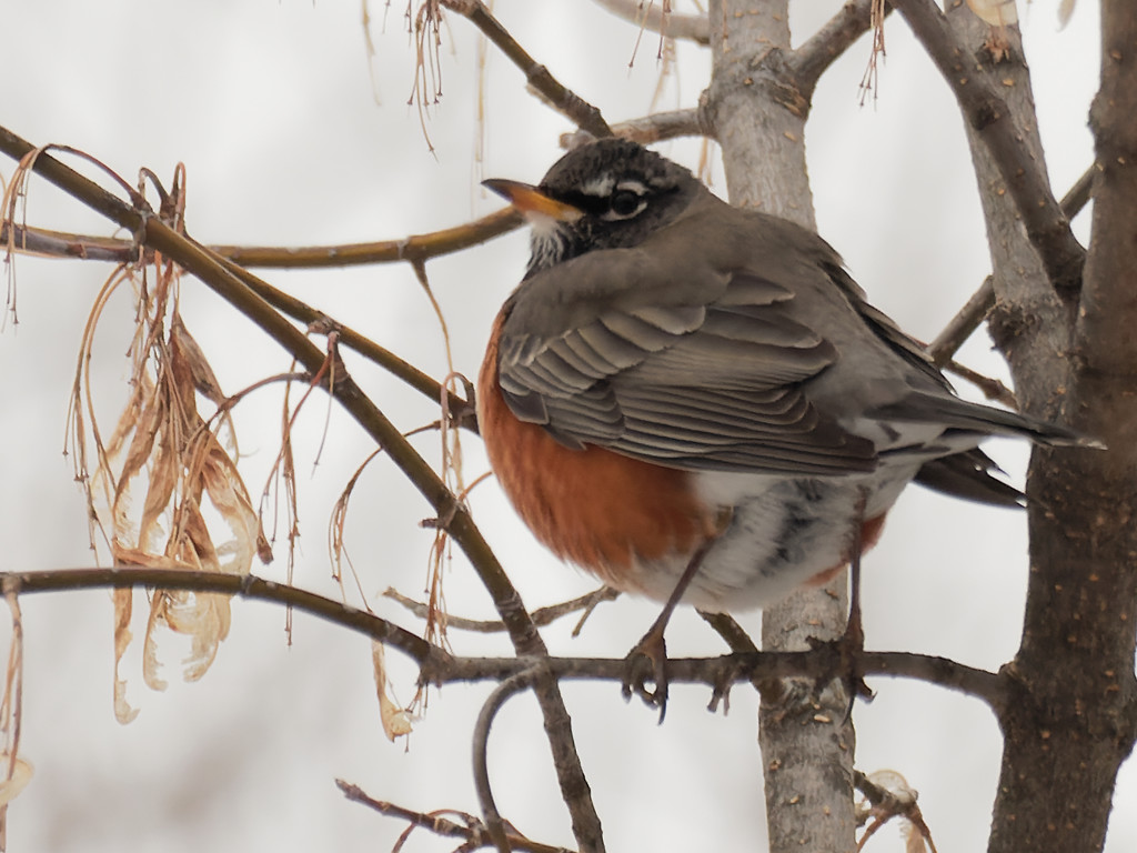 American robin in a maple tree by rminer