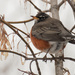 American robin in a maple tree