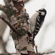 7th Jan 2021 - downy woodpecker