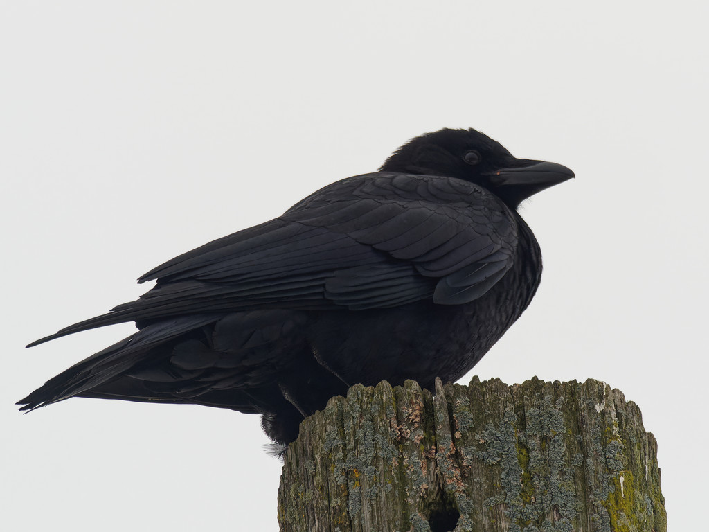 American crow on a post by rminer
