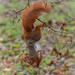Red squirrel by haskar