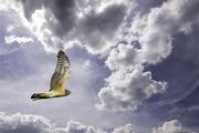 7th Jan 2021 - Harrier In Clouds