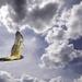 Harrier In Clouds