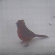 7th Jan 2021 - Animals #7: Cardinal