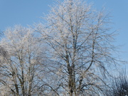 7th Jan 2021 - Frosty Silver Birches