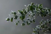 6th Jan 2021 - Eucalyptus #2