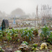 the allotments in winter