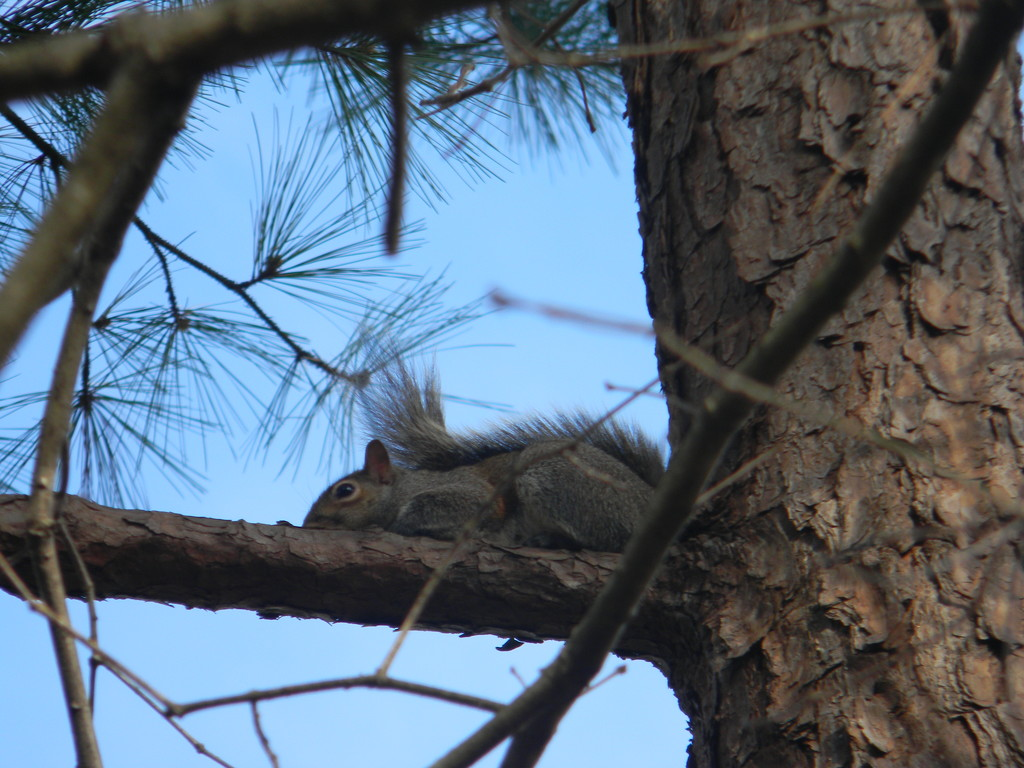 Squirrel Sitting in Tree by sfeldphotos
