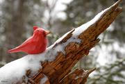 3rd Jan 2021 - The cardinal