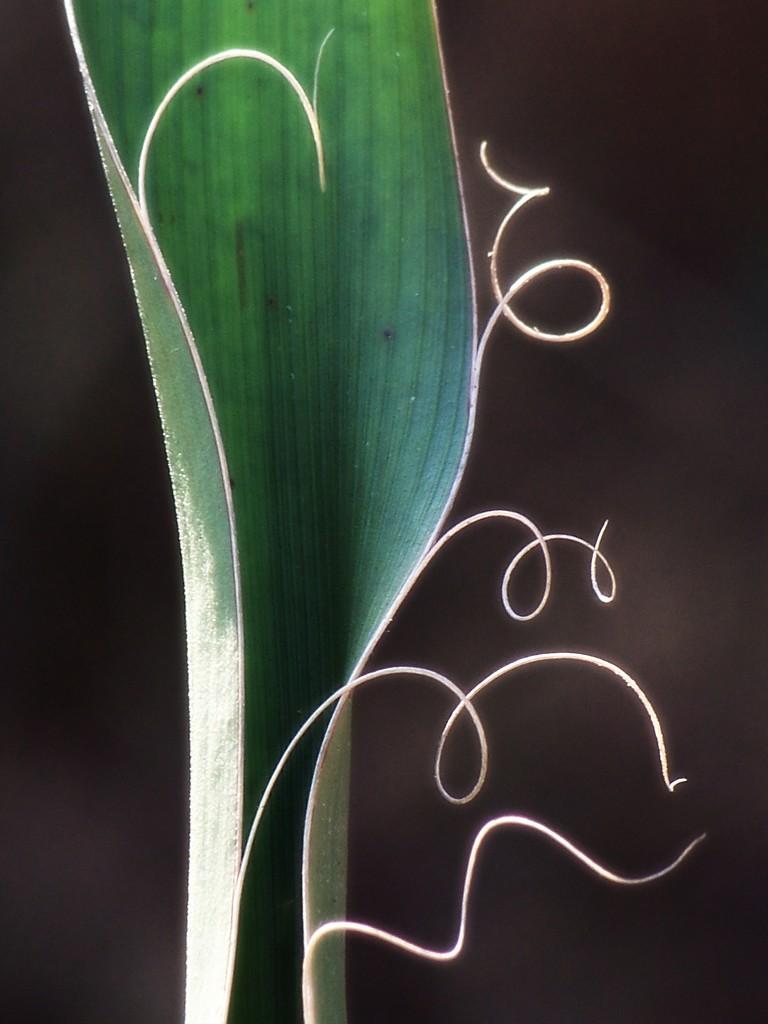 Yucca filamentosa... by marlboromaam
