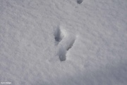 7th Jan 2021 - Rabbit tracks