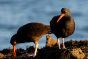 7th Jan 2021 - The local Black Oystercatchers again
