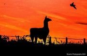 8th Jan 2021 - Llama in silhouette