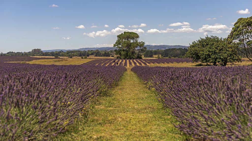 Lavender Fields by nickspicsnz