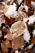 4th Jan 2021 - 0104 - Frozen Leaf