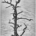 Dead Tree by kvphoto