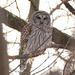 Barred Owl ii