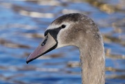 8th Jan 2021 - YOUNG SWAN