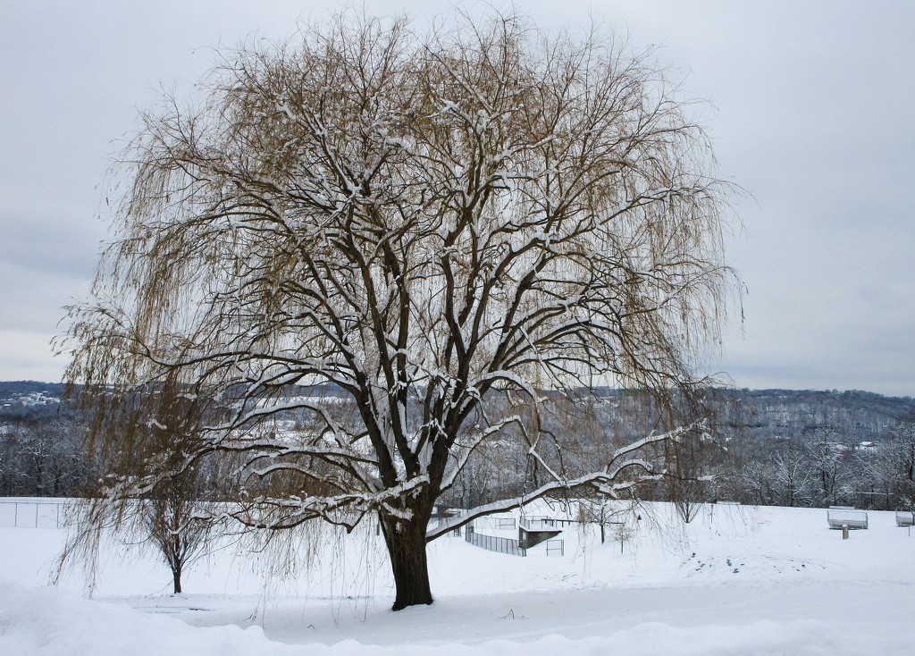 Weeping willow tree with snow by mittens