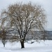 Weeping willow tree with snow