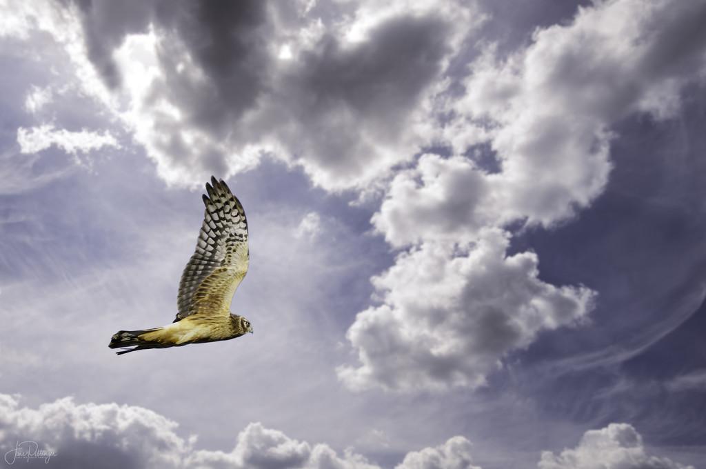 Harrier In Clouds warmed by jgpittenger