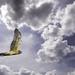 Harrier In Clouds warmed
