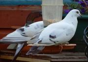 8th Jan 2021 - Tell me white dove ...