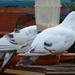 Tell me white dove ...