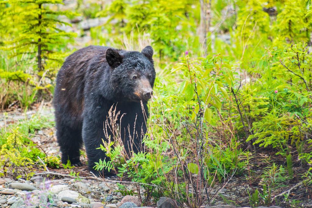 Black Bear by photograndma
