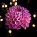 Pink Dahlia by mv_wolfie