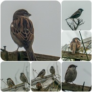 8th Jan 2021 - Sparrows