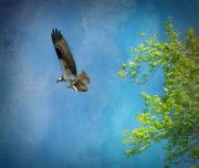 8th Jan 2021 - osprey