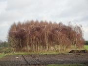 9th Jan 2021 - birches