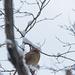 Snowy Day Cardinal