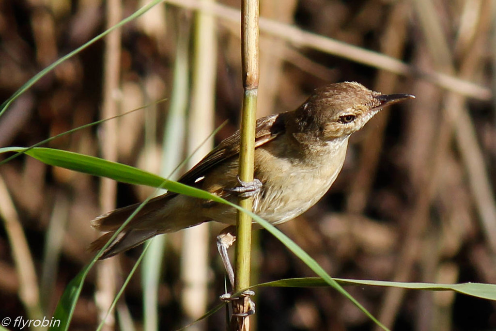 Amongst the reeds by flyrobin