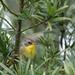 Yellowthroat-backyard