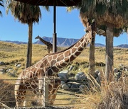 8th Jan 2021 - Two Giraffes