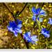 Chicory and Dandelion Bokeh..
