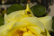 8th Jan 2021 - Bee and Rose