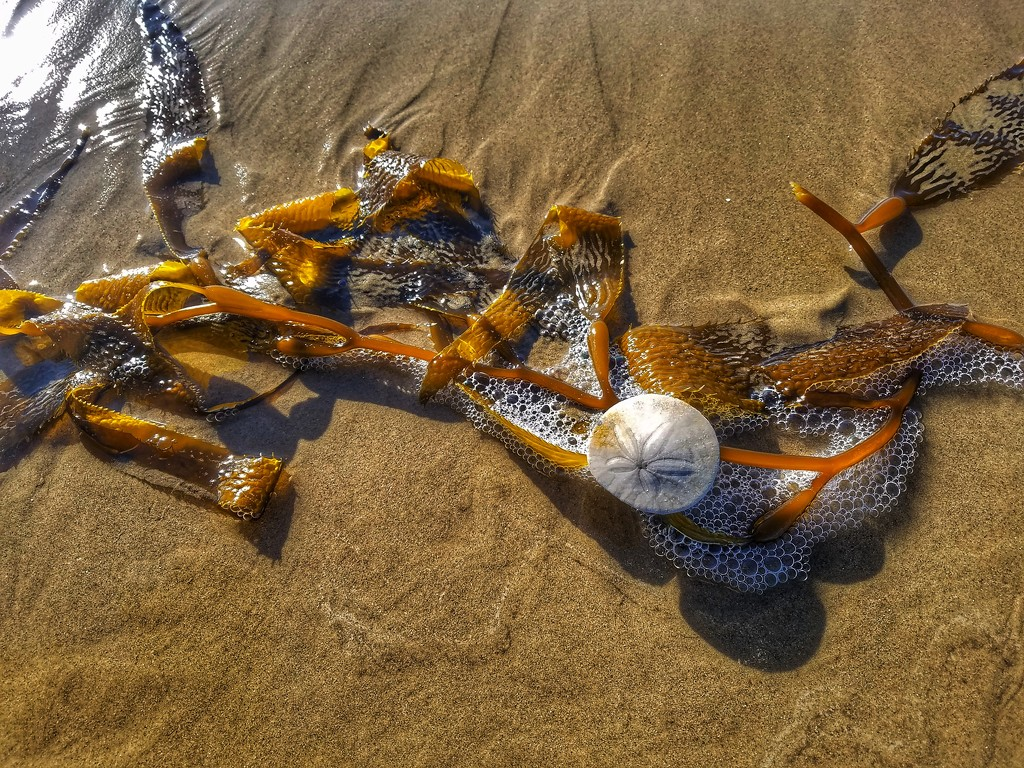 Sand Dollar Skeleton by elatedpixie