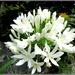 White Agapanthas