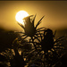thorn_in_sunlight