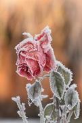 9th Jan 2021 - Sugar Coated Rose
